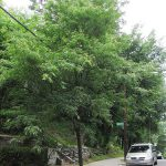Urban Tree Key for Amateur Arborists