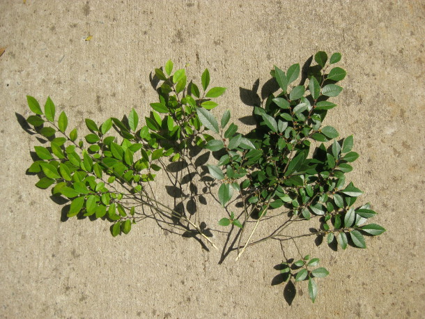 Comparing twigs from trees grown in Structural Soil with trees grown in Suspended Pavement