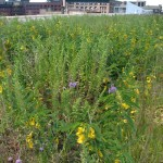 Kestrel Design Group Green Roofs Featured in LAM