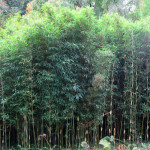 Bamboo's Many Uses
