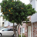 Neighborhood Fruit Brings New Value To Street Trees