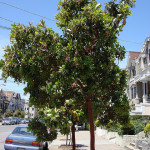 San Francisco Residents Can Give Christmas Trees A Second Life