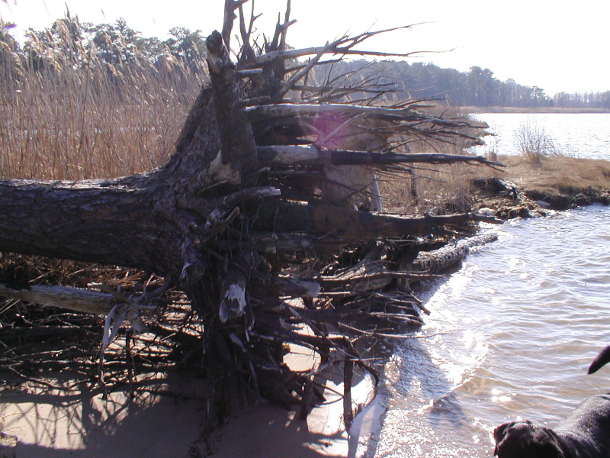Six foot long sinker or striker roots in well-draining soils. Note the remnant of horizontal roots at the trunk flare. Photo courtesy of Miles Barnard.