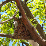Avoid Wild Babies by Pruning in August