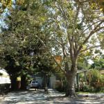Today, California. Tomorrow, the World The Future of the Urban Tree Key