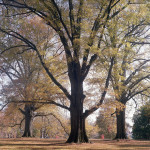 Durham, NC Sets Minimum Soil Volume for Street Trees