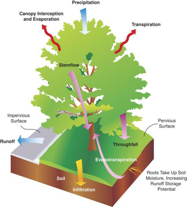 Xiao, Q.; McPherson, E.G.; Ustin, S.L.; Grismer, M.E. 2000. A new approach to modeling tree rainfall interception. Journal of Geographical Research Atmospheres 105: 29173-29188.