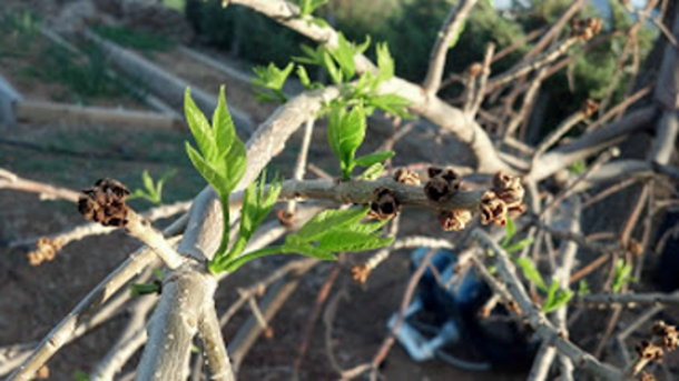 Many ash trees' terminal buds froze; adventitious buds pushed leaf growth.
