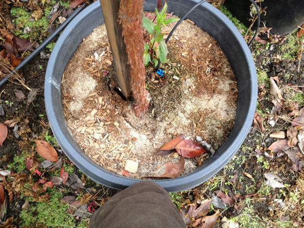 The crack in the soil to the left of the trunk indicates a probable circling or diving root at this location