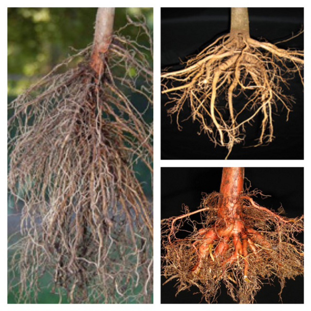 Well-developed root systems