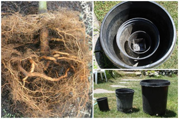 Growing in a series of containers can lead to rootballs within rootballs. Image on left by Dr. Ed Gilman.