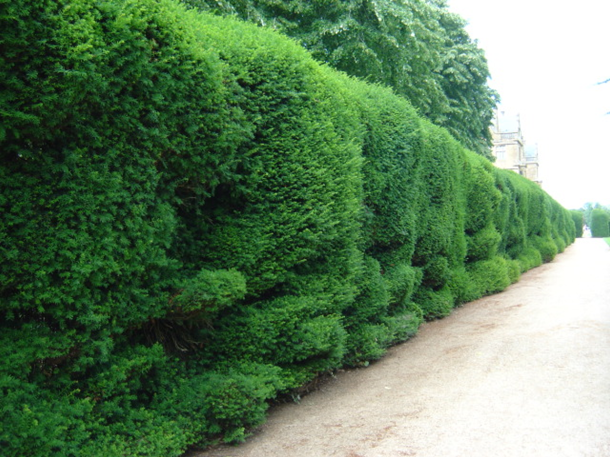 Hedge at Montacute House, Sommerset. Flickr credit: Moochy