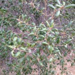 The Champion and the Elf: Variability of the Coast Live Oak