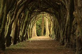 Trained yews at Franciscan College in                                                        Gormanston (Image from http://www.studyco.com/article/11075-Meath)