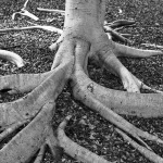 How Wide Do Tree Roots Spread?