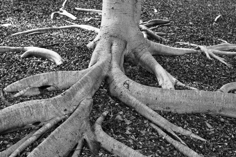 How wide do tree roots spread_Threthny