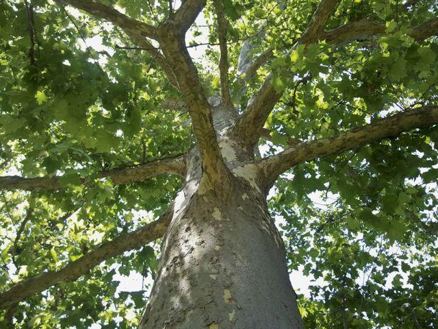 1 Tree canopy