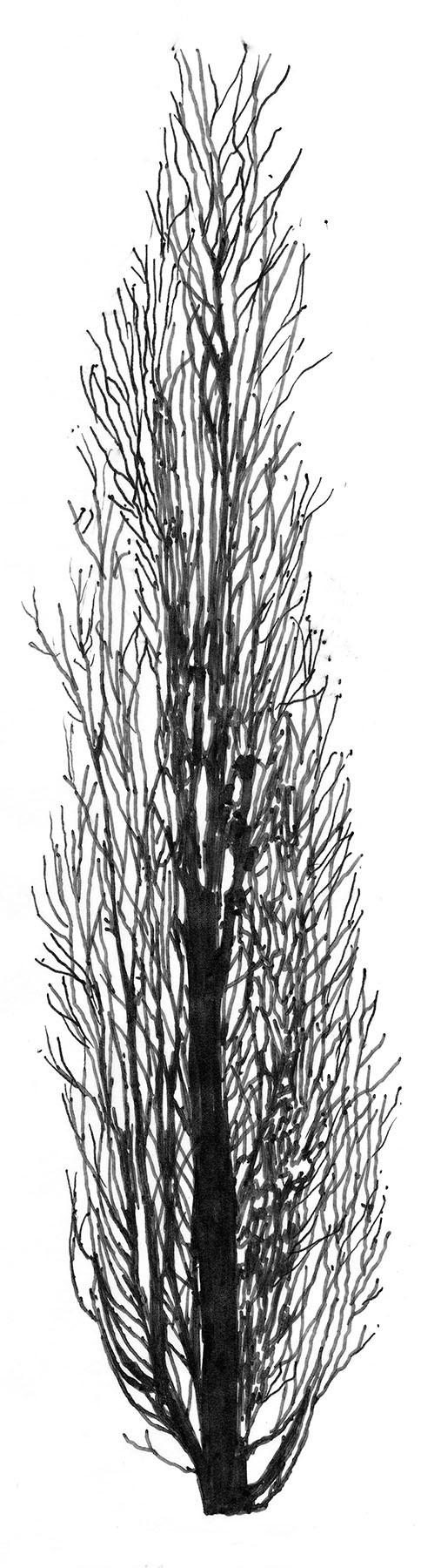 Figure 4. Leafless sketch of Columnar English Oak.