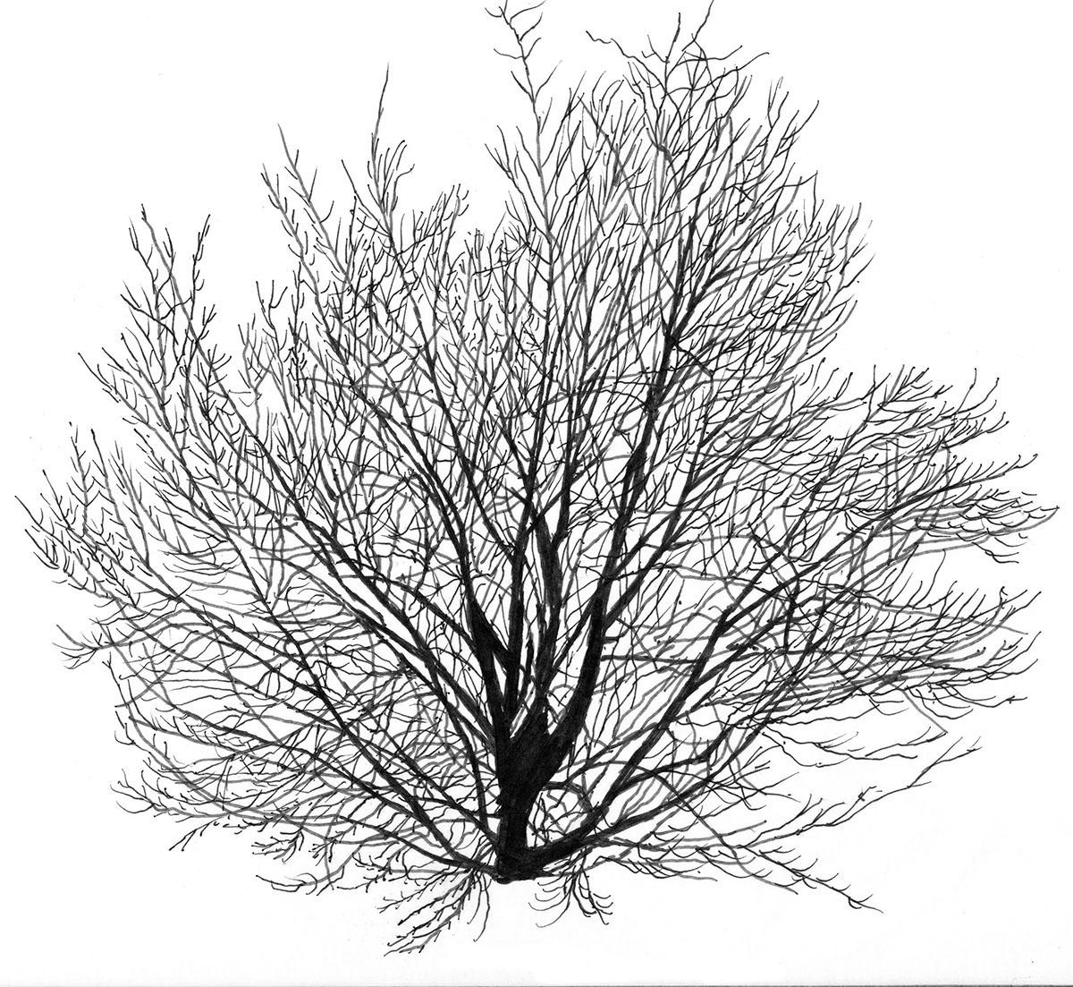 Figure 5. Leafless sketch of American Beech.