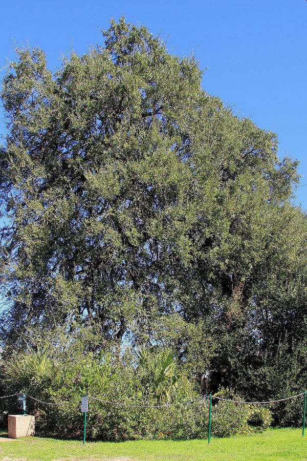 Austin's Treaty Oak. Image by Larry D. Moore.