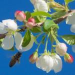 Want Pollinators? Plant Trees