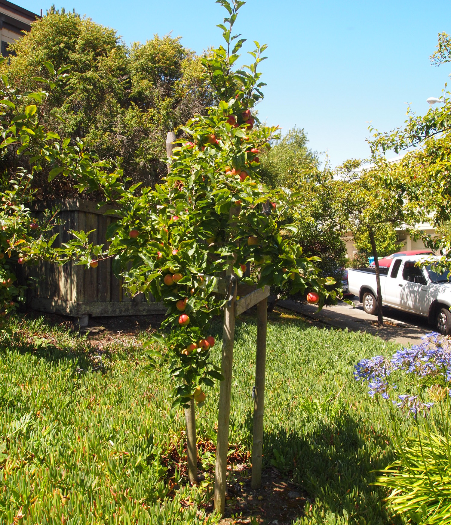 Malus x domestica elevation. Photo credit: Friends of the Urban Forest