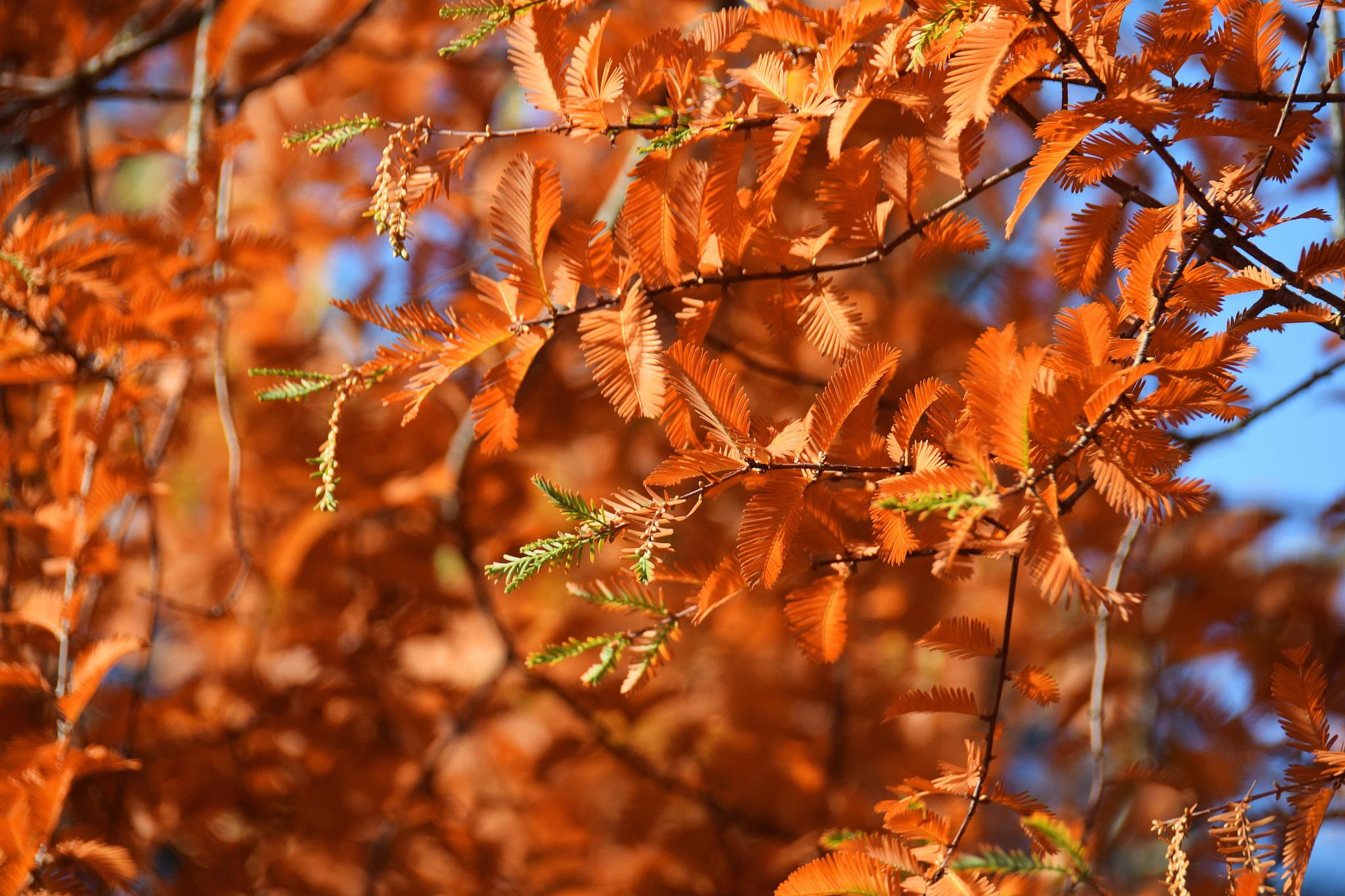 Metasequoia Glyptostroboides Fall Color Image