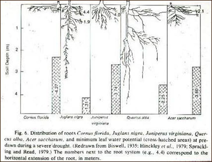 Oak Tree Root System Diagram